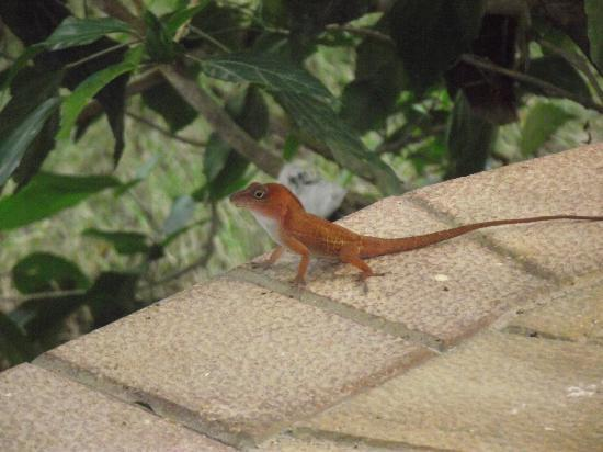 One of the many lizards in the grounds
