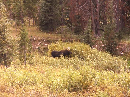 Centennial, WY: Bull Moose i spotted