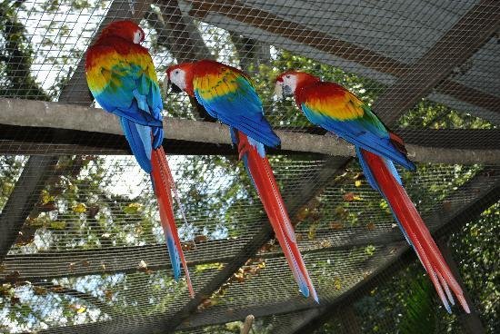Macaw Mountain Bird Park & Nature Reserve : Macaws