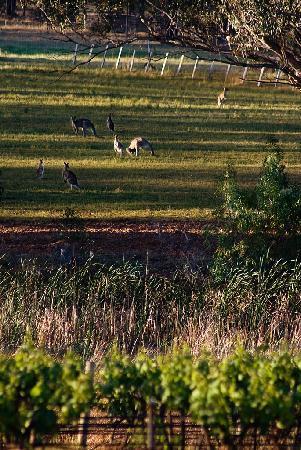 Willow Tree Estate: Resident Kangaroos