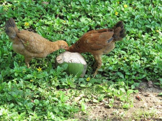 Farm Peace & Love: chickens do wake you up but awesome