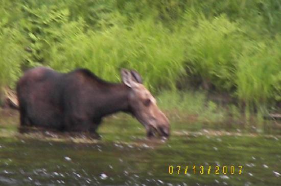 Attean Lake Lodge: Moose at the inlet