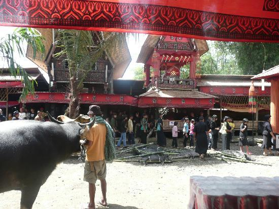 Rantepao, Indonesia: As a clan enters the main house, their gifts of water bufallo and pigs are layed out in the cent