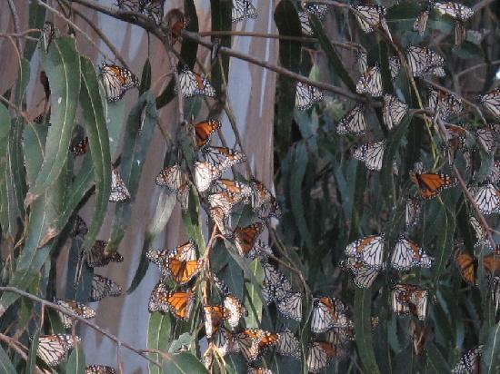 ‪سبايجلاس إن: Monarch Butterflies cluster together on the pines and eucalyptus trees of the Sanctuary‬