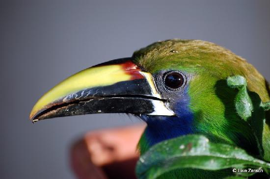 Bosque del Tolomuco: Emerald Toucanet