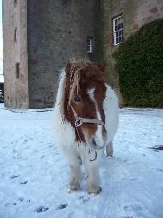 Castle Stuart: mini pony