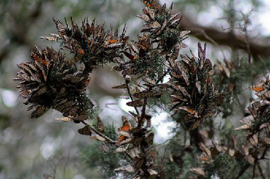 Monarch Butterfly Grove : Look closely and be amazed