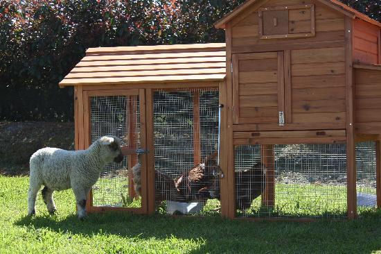 Cottages on St. Andrews & Lodge On St Georges: Chickens and pet lambs for kids to feed
