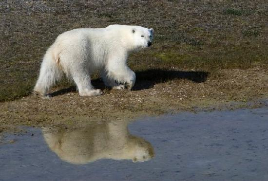 Nunavut, Canadá: Polar Bear at Arctic Watch Lodge