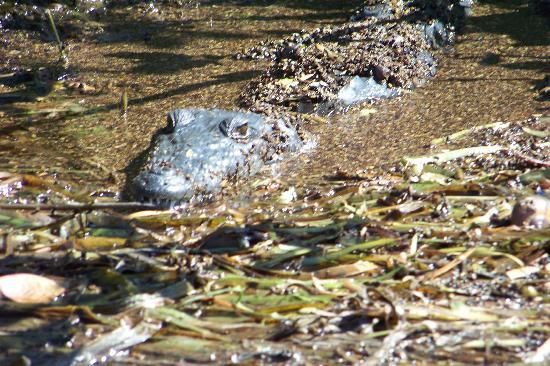 Alligator On Boat Ride Picture Of Belize Cruise Excursions Belize City Tripadvisor