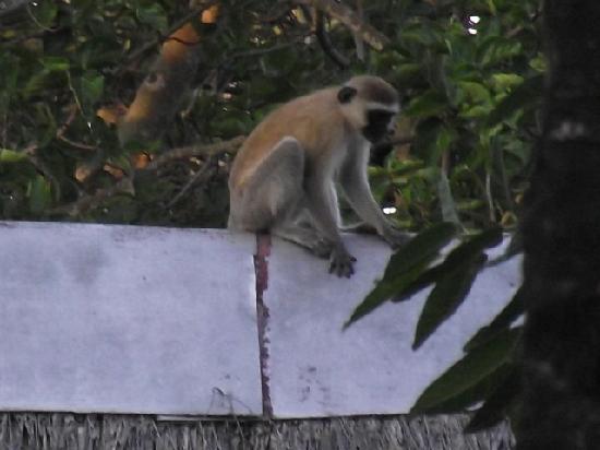 Voyager Beach Resort: Cheeky monkey at hotel