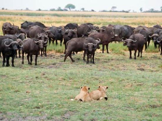 Greater Johannesburg, South Africa: Lions on the hunt for buffalos