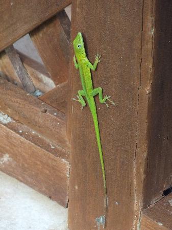 Grand Bahia Principe Cayacoa: One of the many lizards