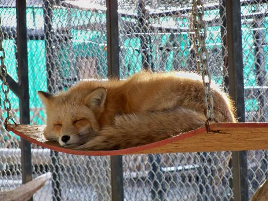 Big Bear Alpine Zoo at Moonridge: An adorable fox that we ended up with about 20 pictures of!  :)