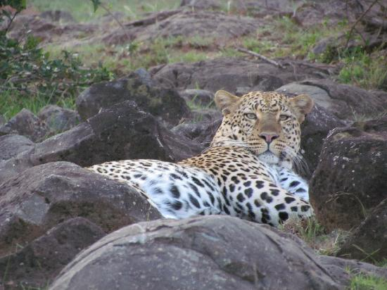 Fairmont Mara Safari Club: Elusive Leopard