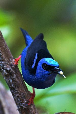 Bijagua de Upala, Κόστα Ρίκα: Local Red legged honeycreeper