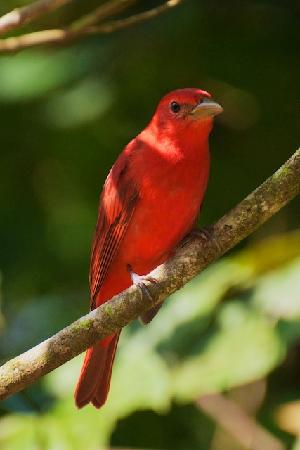 Casitas Tenorio B&B: Summer Tanager