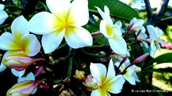 La Joya Eco-Community: National flower of Nicaragua.