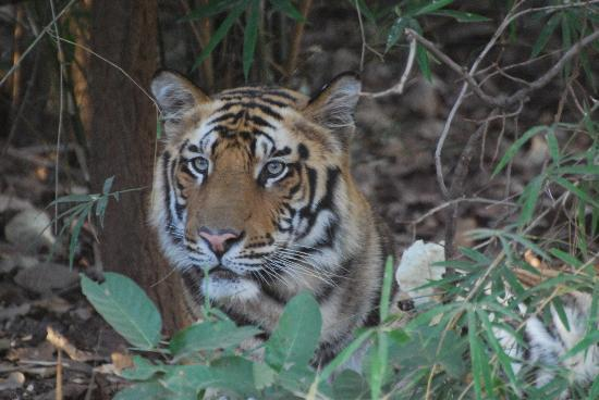 Tree House Hideaway: First tiger spotted male cub
