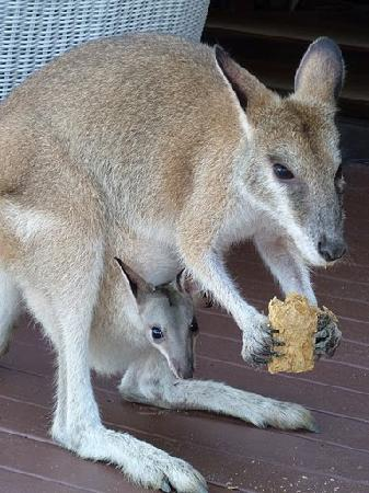 Long Island, Australia: Edwina, the friendly Wallaby