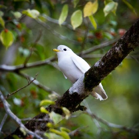 Bosque del Rio Tigre : Endangered Yellow-billed Cotinga