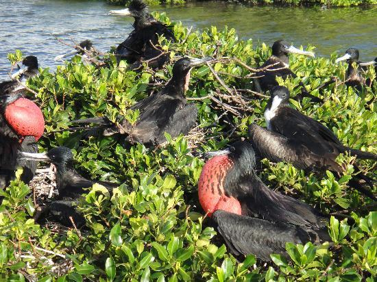 Frigate Bird Sanctuary: Birds on a mangrove island