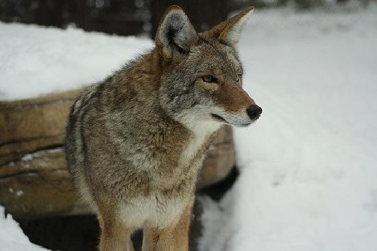 Apple Valley, MN: Coyote exhibit at the Minnesota zoo.