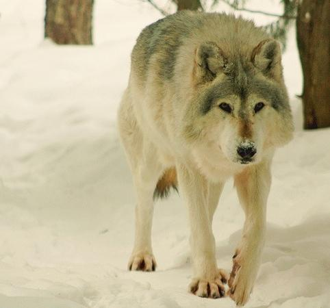 Minnesota Zoo: gray wolf