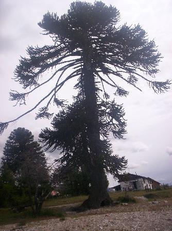 Villa Pehuenia, Argentine : Pehuén