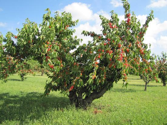Le Mas Jorel: Cerisier