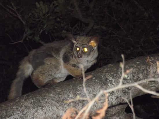 Lydenburg, Afrique du Sud : Bushbaby