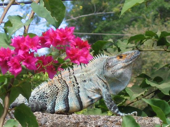 Villa Del Sol: Un iguane turquoise qui se fait dorer au soleil