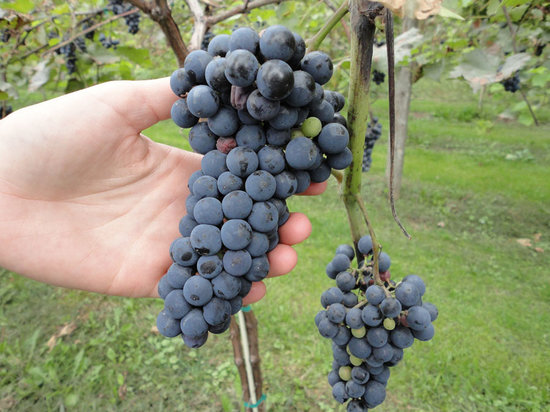 Otter Valley Winery: Marquettes ready to harvest