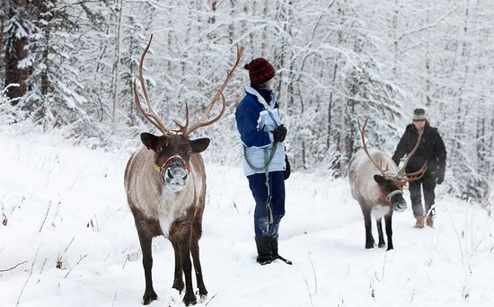 Fairbanks, AK: A winter walk with the reindeer.