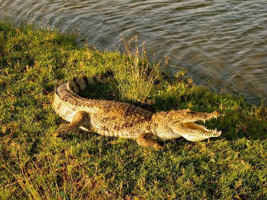 Bakau, Gambia: Croc 100yd from hotel