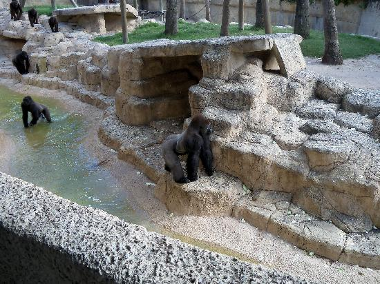 Brownsville, TX: Gorilla Exhibit