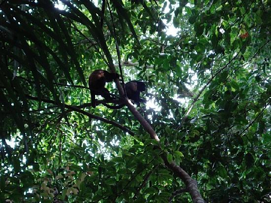 Hotel Rancho Coral: monkeys in the manuel antonio park