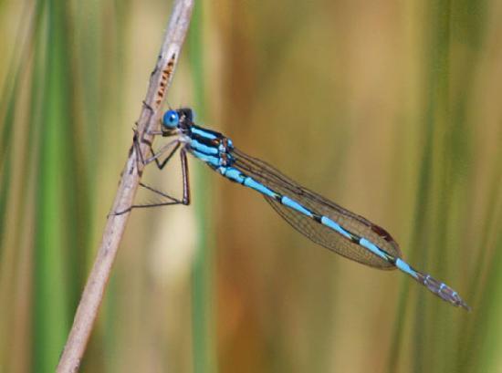 Currawong Lakes: Blue Damsels