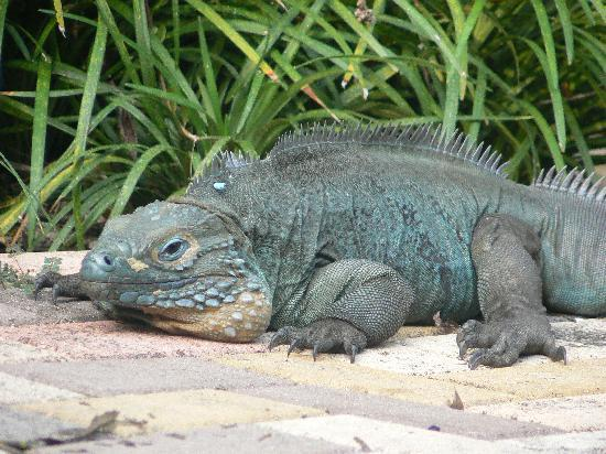 Blue Iguana Recovery Program Safari Tour: Blue Iguana Tootsie posing in the sun on the Botanical Garden path