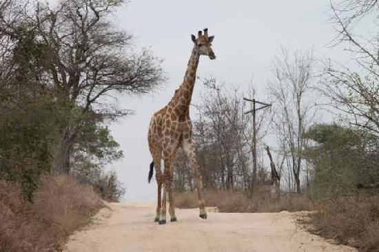 Umkumbe Safari Lodge : Giraffe blocking our way!