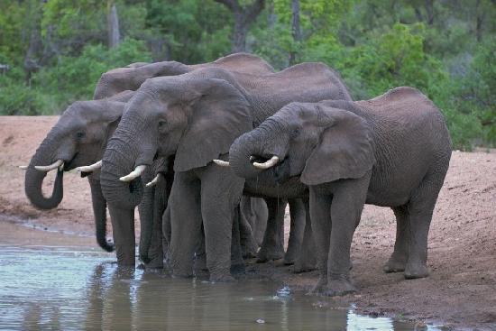 Ezulwini Game Lodges: Elephants drinking