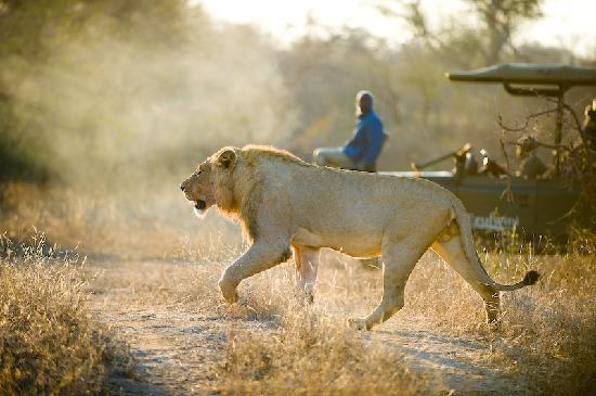 Ezulwini Game Lodges: Lion in the early morning