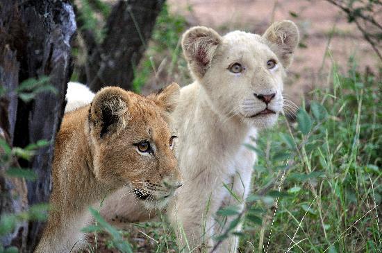 Elandela Private Game Reserve: Elandela Reserve : lion cubs