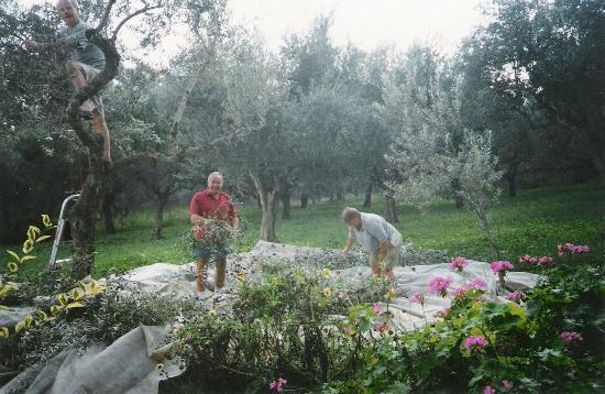 Castelli Hotel: Our guests participating at olive picking activities!!!