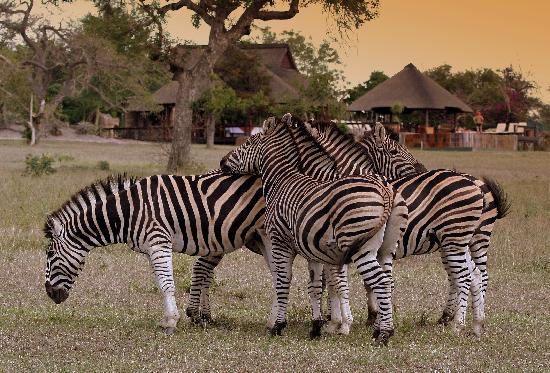 Nkorho Bush Lodge: Zebra