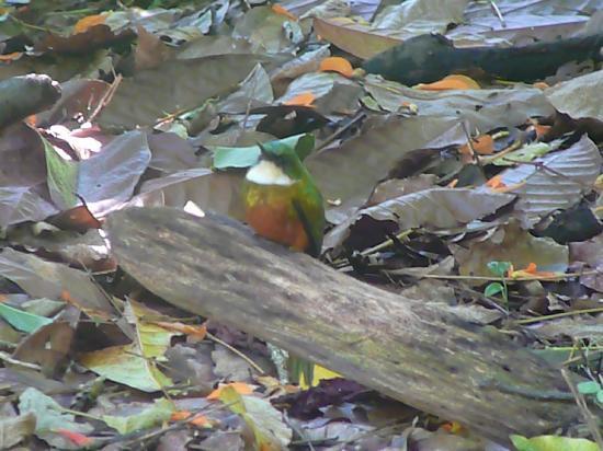 Tobago Forest Reserve: Jacamar