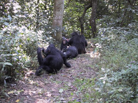 Gombe Stream National Park: Chimps on a path