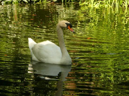 Lake Wales, Φλόριντα: Swan in the reflecting pond