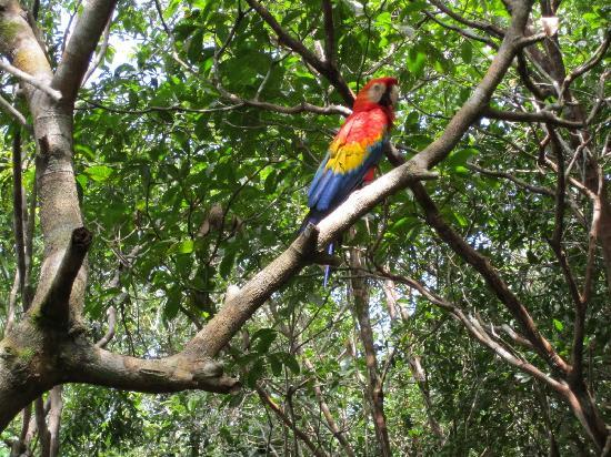 Juma Amazon Lodge: macaw that was perched on the way to the dining hall