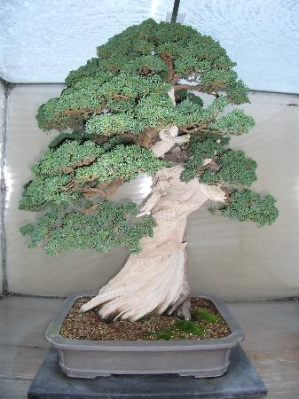 Federal Way, Ουάσιγκτον: another one of the Bonsai